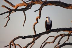 AFRICAN FISH EAGLE ON A BRANCH IN A BARE TREE stock photo