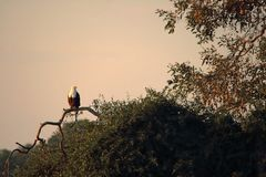 AFRICAN FISH EAGLE SITTING ON A BRANCH AGAINST THE SKY stock image