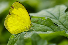 Image of Anderson& x27;s Grass Yellow Butterflies & x28;Eurema andersonii Royalty Free Stock Photo