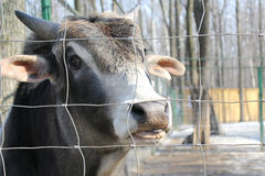 Image animal cow. The animal is behind bars. The mammal shows tongue Royalty Free Stock Photo
