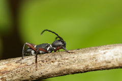 Image of ant Formicidae on a branch. Insect. Stock Photos