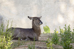 Image of an antelope relax on nature background. Stock Image