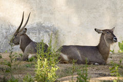 Image of an antelope relax on nature background. Stock Images