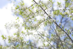 Image of Apple Blossom natural background, spring white flowers.  royalty free stock image