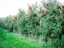 Image of apple plantation with ripe apples stock photography