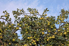 Image of apple tree on sky background Stock Images