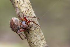 Image of Araneus hamiltoni spider. Image of Araneus hamiltoni spider on dry branches. Insect Animal Royalty Free Stock Photos