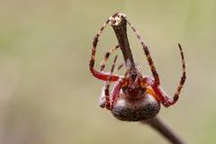 Image of Araneus hamiltoni spider. Image of Araneus hamiltoni spider on dry branches. Insect Animal Stock Photography