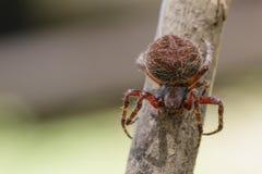 Image of Araneus hamiltoni spider. Image of Araneus hamiltoni spider on dry branches. Insect Animal Royalty Free Stock Image