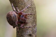 Image of Araneus hamiltoni spider. Image of Araneus hamiltoni spider on dry branches. Insect Animal Stock Photos