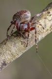 Image of Araneus hamiltoni spider. Image of Araneus hamiltoni spider on dry branches. Insect Animal Royalty Free Stock Photography