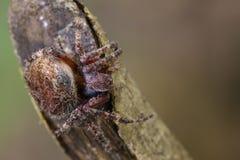 Image of Araneus hamiltoni spider. Image of Araneus hamiltoni spider on dry branches. Insect Animal Royalty Free Stock Photo