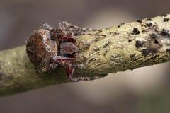 Image of Araneus hamiltoni spider. Image of Araneus hamiltoni spider on dry branches. Insect Animal Stock Image