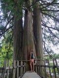 Image arrière de l'femmes qui regarde le cèdre énorme trois du Togakushi-Jinja, Japon image stock