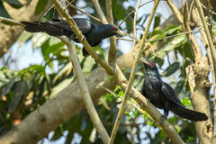 Image of asian koel bird Eudynamys scolopaceus Stock Photos