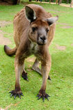 Image of an Australian kangaroo Stock Images