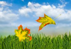 image of autumn leaves in the grass close-up Royalty Free Stock Image