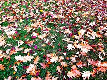 Autumn Leaves on Top of the Grass Royalty Free Stock Images