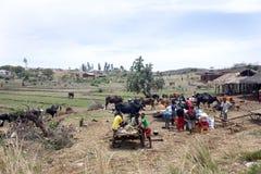 Image avec le nord rural, vaches entre les huttes, près d'Antsohihy, le Madagascar Photos libres de droits