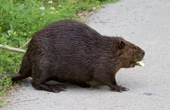 image avec un castor canadien Photo libre de droits