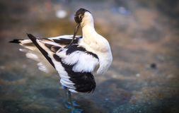 Image of avocet frolicking in the pond. Image of black and white avocet frolicking in the pond Stock Images