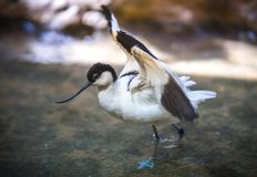 Image of avocet frolicking in the pond. Image of black and white avocet frolicking in the pond Stock Photo
