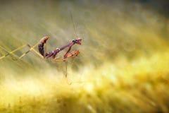 Cute Baby Mantis stock photo