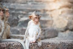 Image of a Baby monkey macaca fascicularis,Long-tailed macaque,. Crab-eating macaque ,Portrait of cute monkey in Lop Buri ,thailand Stock Image