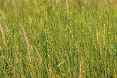 Background green spikelets of wild nature grass Royalty Free Stock Image