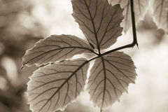 Image of a backlit group of leaves Royalty Free Stock Photography