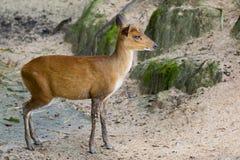 Image of a barking deer. Image of a barking deer on nature background Stock Photo