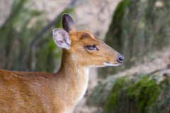 Image of a barking deer. On nature background Royalty Free Stock Photo
