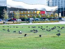 Image of barnacle goose on a green meadow stock photography