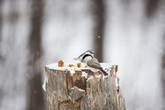 Image of beautiful bird Marsh Tit or Poecile palustris sitting on the stump and pecking bread in the winter forest. Profile Image of beautiful bird Marsh Tit or stock image