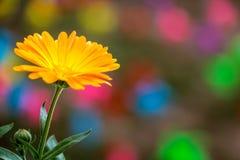 A Flower of Pot Marigold (Calendula officinalis) royalty free stock image