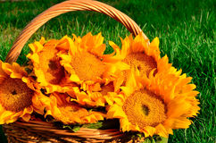 Image of a beautiful colorful sunflowers Stock Photos