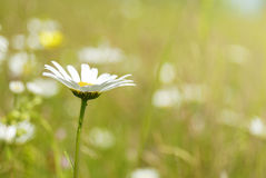 An image of a beautiful daisy flowers Royalty Free Stock Photo
