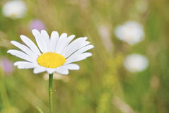 An image of a beautiful daisy flowers Royalty Free Stock Photos