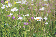 An image of a beautiful daisy flowers Stock Image