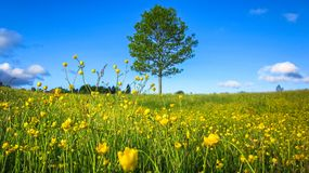 Nature Spring Landscape with A Field of Wild Yellow Buttercup Flowers, A Lone Tree and Scattered White Clouds in The Blue Sky royalty free stock photography