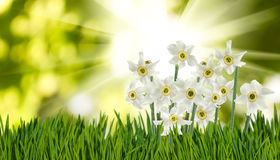 Image of beautiful flowers narcissus in garden close-up. Image of beautiful flowers narcissus in garden closeup Stock Photo