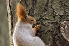 Squirrels jumping and frolicking in trees and land. The image of beautiful graceful red squirrels jumping and frolicking in trees and land royalty free stock photos