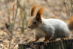 Squirrels jumping and frolicking in trees and land. The image of beautiful graceful red squirrels jumping and frolicking in trees and land stock image