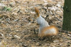 Squirrels jumping and frolicking in trees and land. The image of beautiful graceful red squirrels jumping and frolicking in trees and land royalty free stock photo
