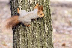 Squirrels jumping and frolicking in trees and land. The image of beautiful graceful red squirrels jumping and frolicking in trees and land stock images