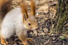 Squirrels jumping and frolicking in trees and land. The image of beautiful graceful red squirrels jumping and frolicking in trees and land stock photography