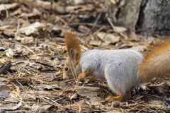 Squirrels jumping and frolicking in trees and land. The image of beautiful graceful red squirrels jumping and frolicking in trees and land royalty free stock photography