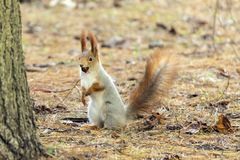 Squirrels jumping and frolicking in trees and land. The image of beautiful graceful red squirrels jumping and frolicking in trees and land royalty free stock images