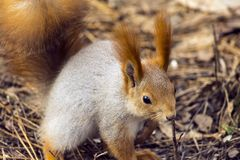 Squirrels jumping and frolicking in trees and land. The image of beautiful graceful red squirrels jumping and frolicking in trees and land stock photo