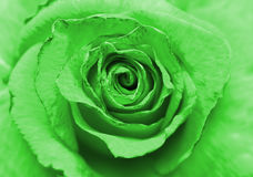 Image of beautiful green rose Royalty Free Stock Photography